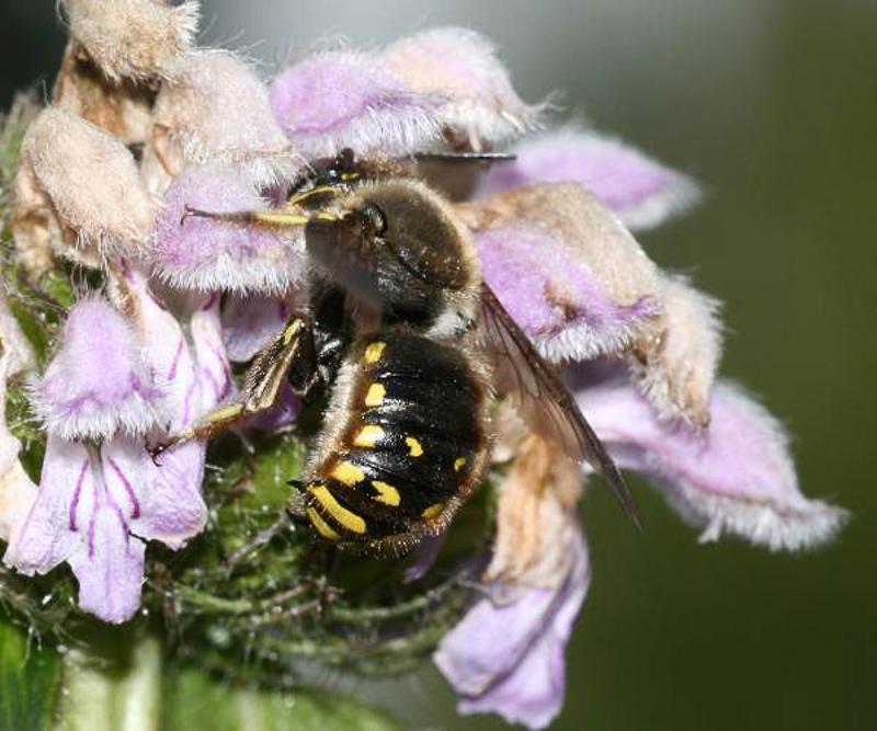 Bees : (Megachilidae) Anthidium manicatum