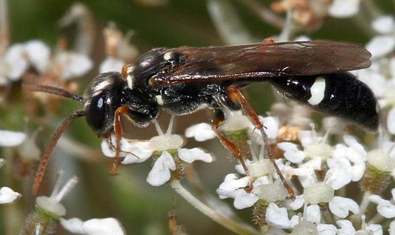 Aculeate Wasps : (Crabronidae) Mellinus crabroneus
