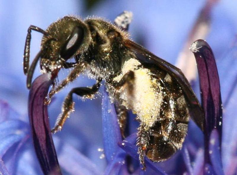 Bees : (Halictidae) Lasioglossum morio
