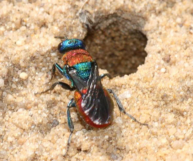 Aculeate Wasps : (Chrysididae) Hedychrum nobile