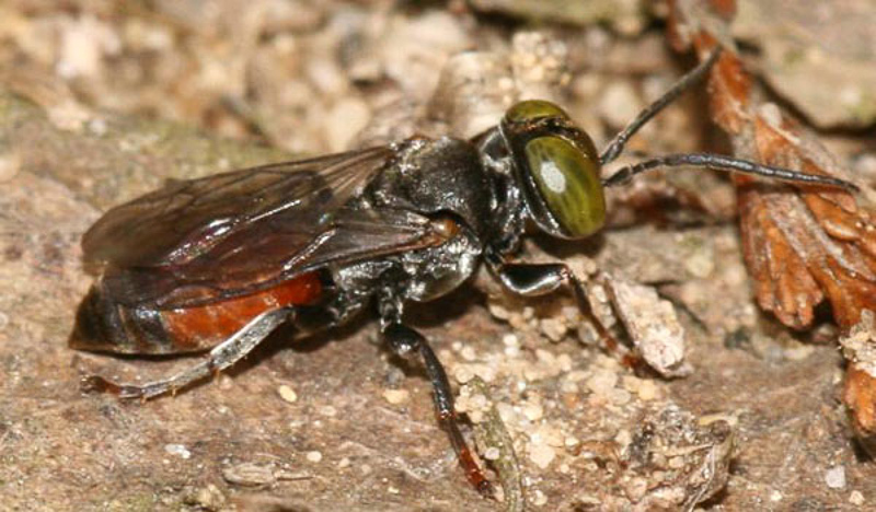 Aculeate Wasps : (Crabronidae) Tachysphex obscuripennis