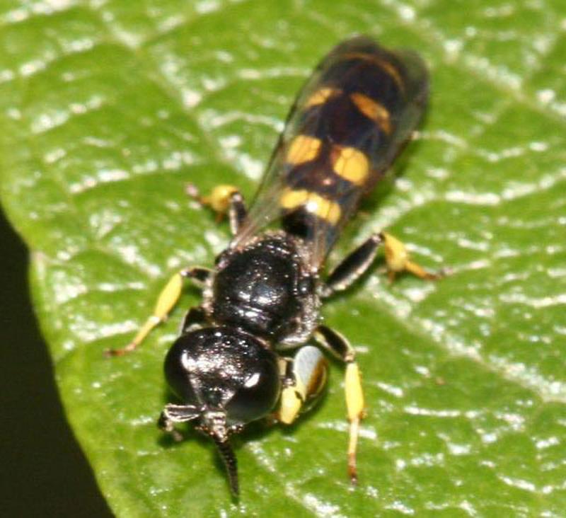 Aculeate Wasps : (Crabronidae) Crabro peltarius