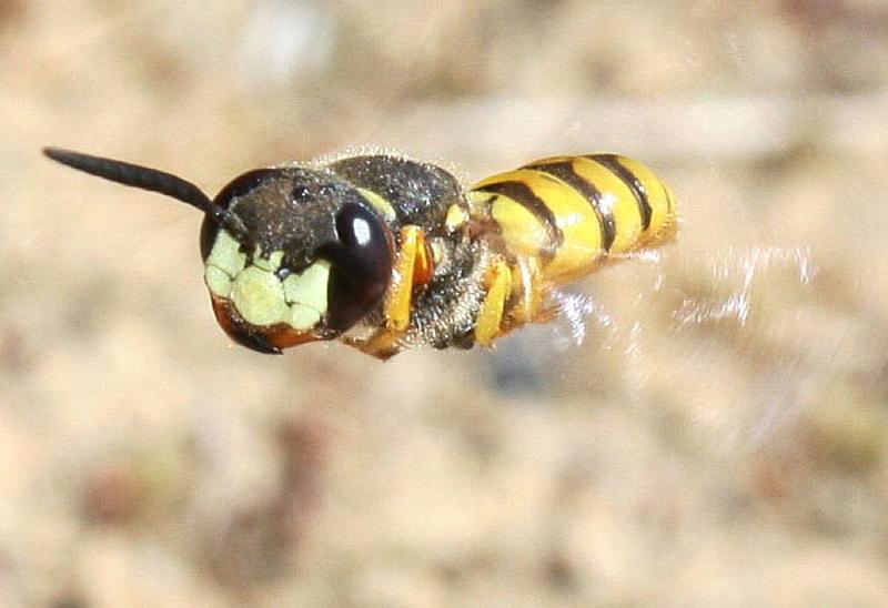 Aculeate Wasps : (Crabronidae) Philanthus triangulum
