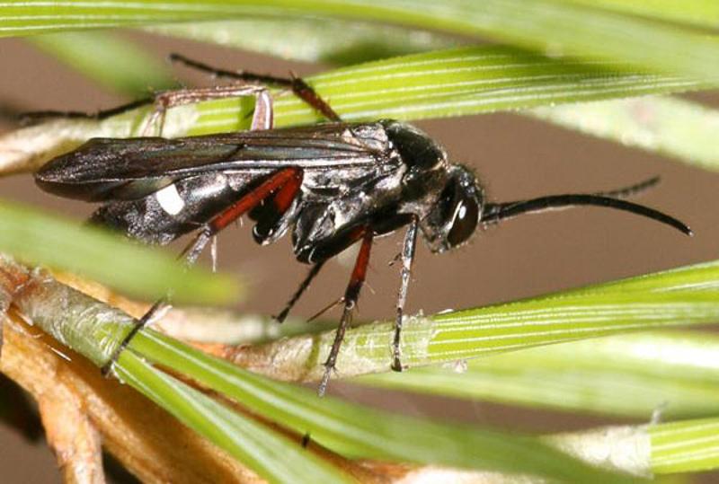 Aculeate Wasps : (Pompilidae) Episyron rufipes