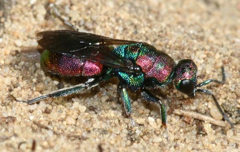 Aculeate Wasps : (Chrysididae) Hedychrum rutilans