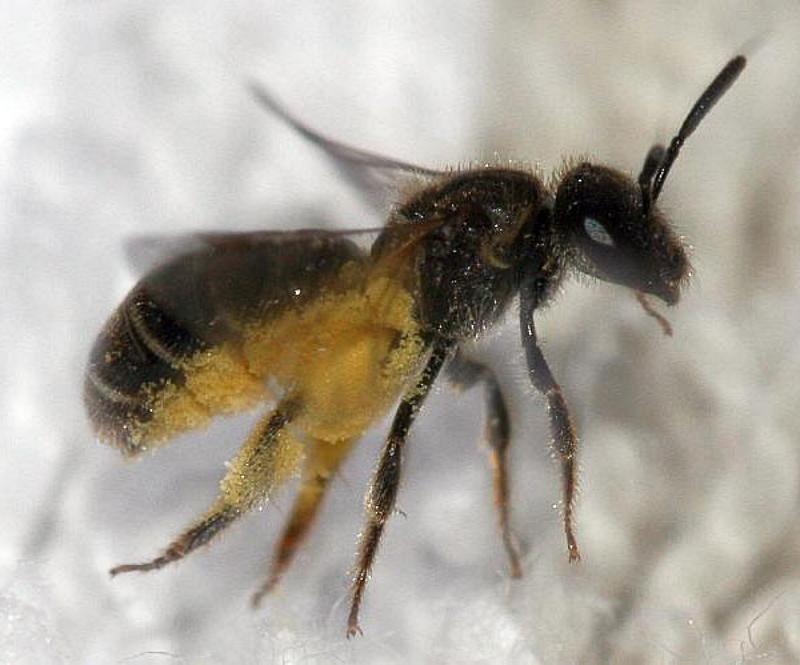 Bees : (Halictidae) Lasioglossum sexstrigatum