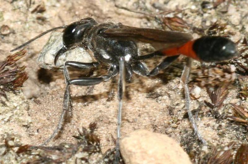 Aculeate Wasps : (Sphecidae) Ammophila sabulosa