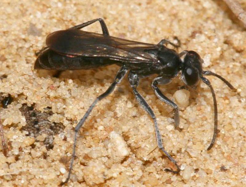 Aculeate Wasps : (Pompilidae) Pompilus cinereus