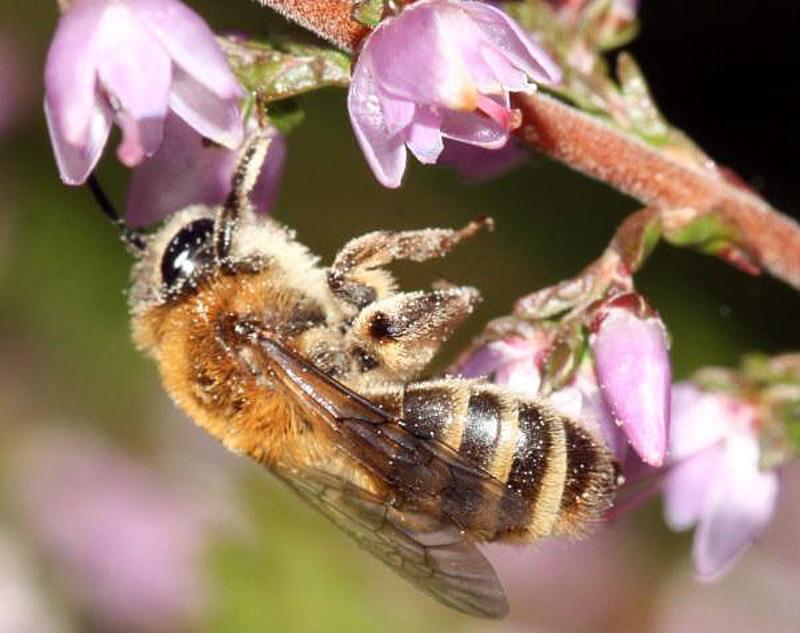 Bees : (Andrenidae) Andrena fuscipes