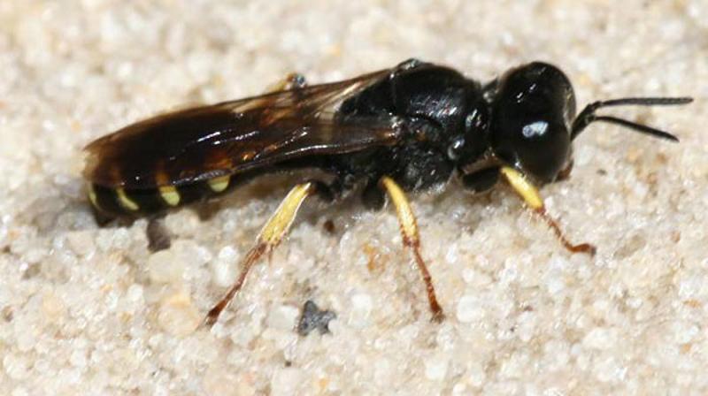 Aculeate Wasps : (Crabronidae) Crabro scutellatus