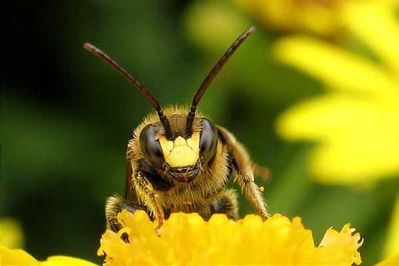 Bees : (Melittidae) Macropis europaea