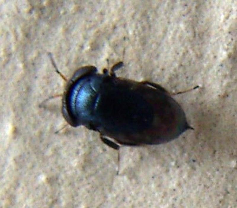 Chalcid wasps : (Pteromalidae) Scutellista cyanea