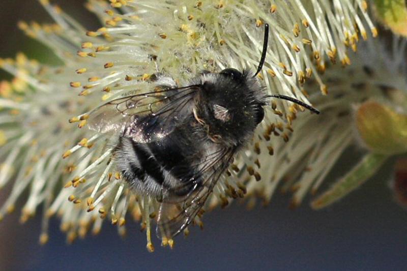 Bees : (Apidae) Anthophora alluaudi
