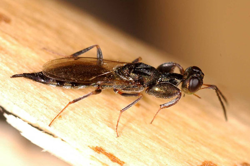 Chalcid wasps : (Pteromalidae) Oodera formosa