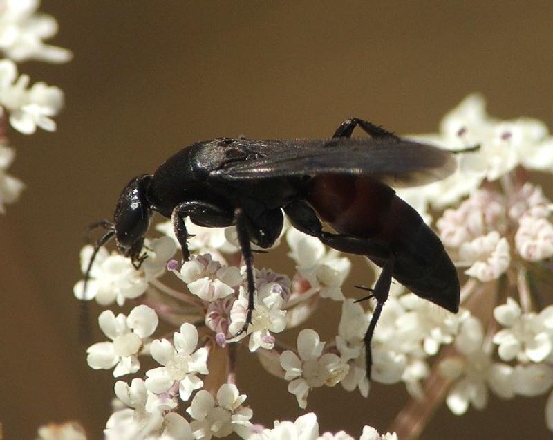 Aculeate Wasps : (Pompilidae) Aporus unicolor