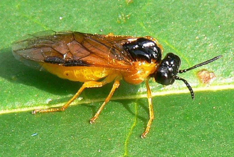 Sawflies and horntails : (Tenthredinidae) Selandria serva