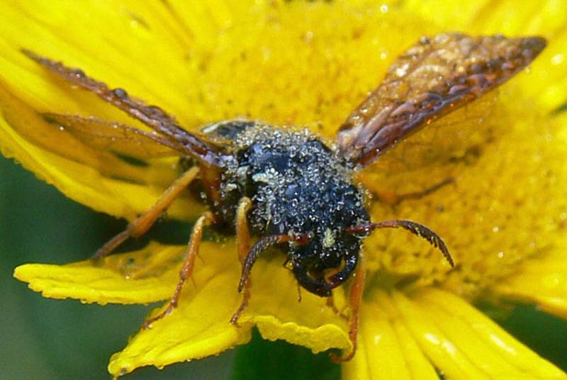 Sawflies and horntails : (Megalodontesidae) Megalodontes cephalotes