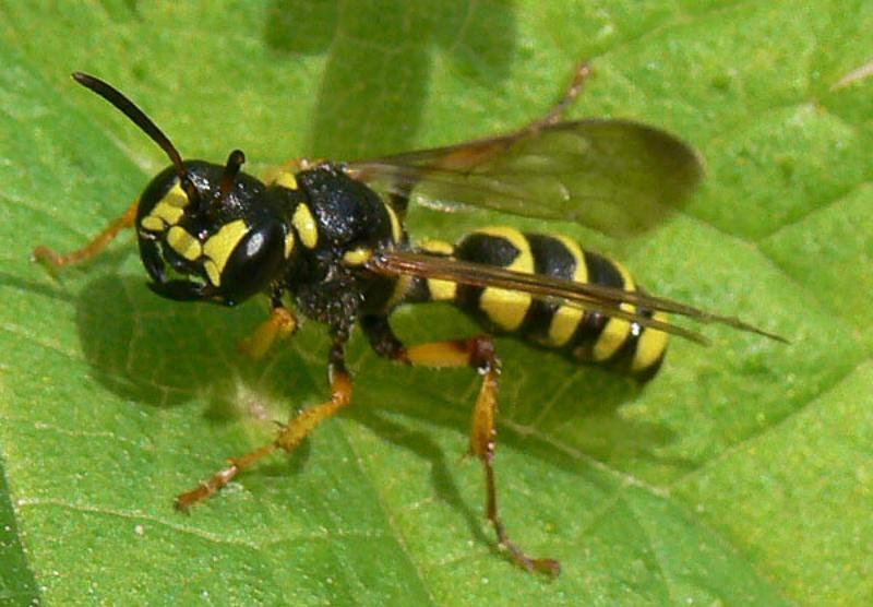 Aculeate Wasps : (Crabronidae) Cerceris arenaria