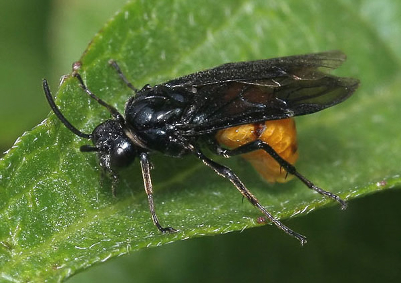 Sawflies and horntails : (Argidae) Arge pagana