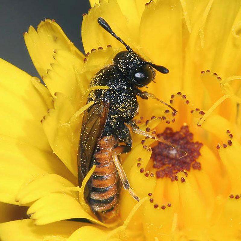 Sawflies and horntails : (Cimbicidae) Corynis crassicornis