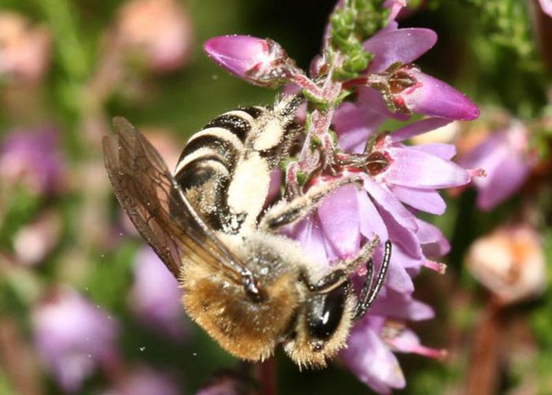 Bees : (Colletidae) Colletes succinctus
