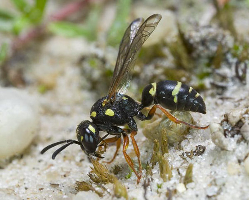 Aculeate Wasps : (Vespidae) Pterocheilus phaleratus