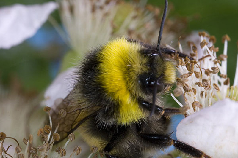 Bees : (Apidae) Bombus magnus
