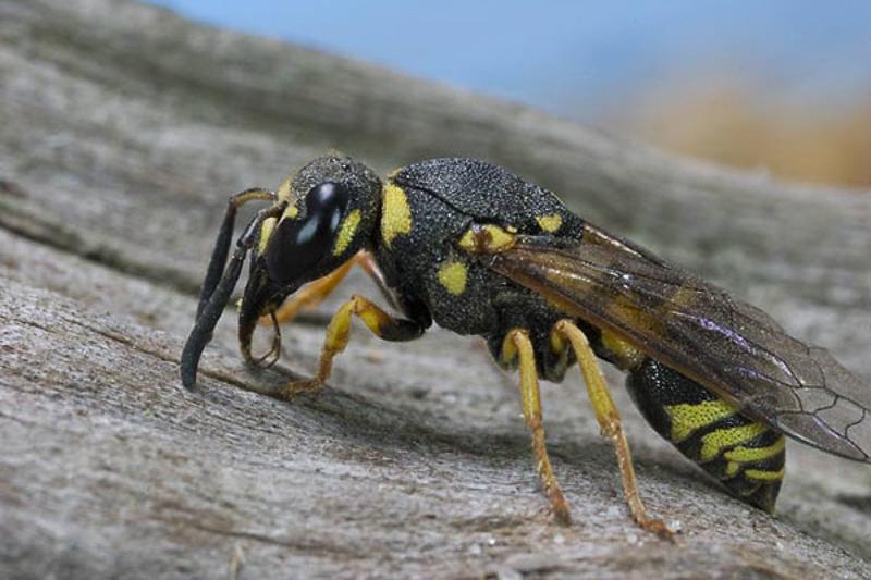 Aculeate Wasps : (Vespidae) Euodynerus dantici