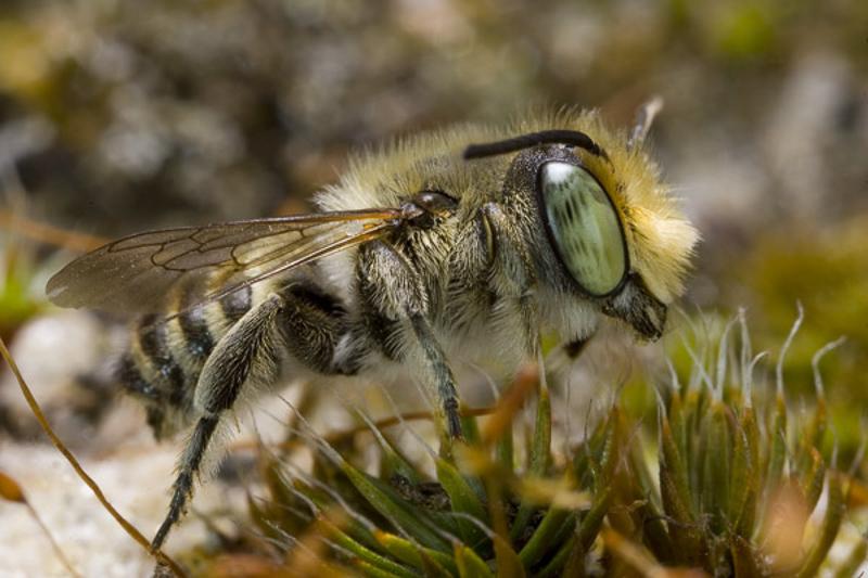 Bees : (Megachilidae) Megachile leachella