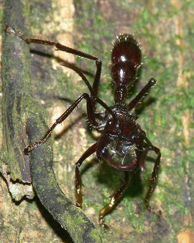 Ants : (Formicidae) Paraponera clavata