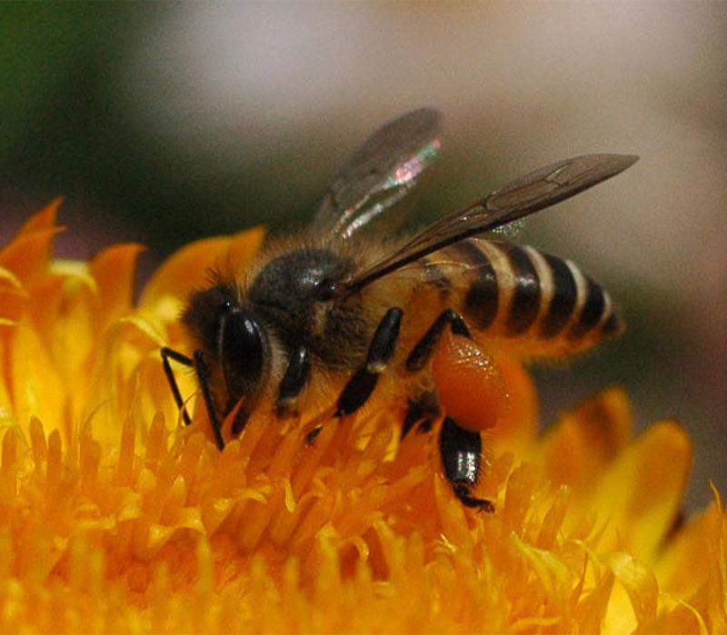 Bees : (Apidae) Apis cerana