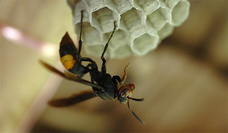 Aculeate Wasps : (Vespidae) Vespa tropica