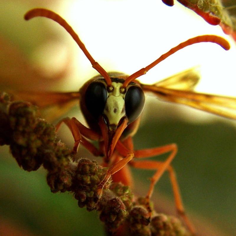 Aculeate Wasps : (Vespidae) Delta dimidiatipenne