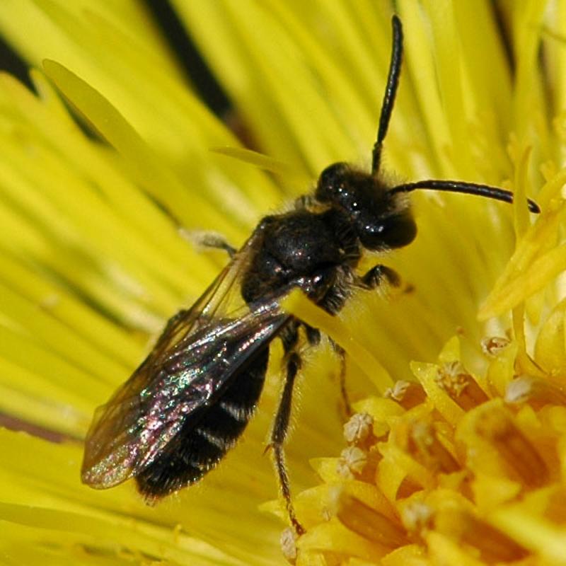 Bees : (Andrenidae) Andrena subopaca