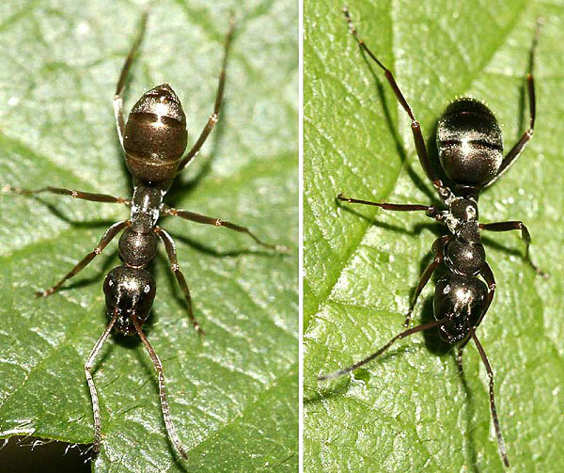 Ants : (Formicidae) Formica fusca