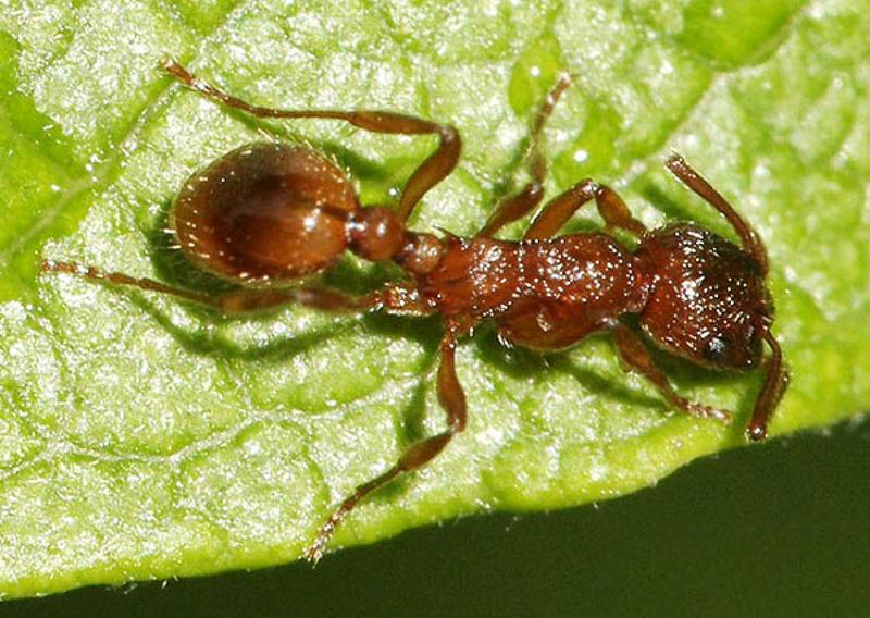 Ants : (Formicidae) Myrmica rubra
