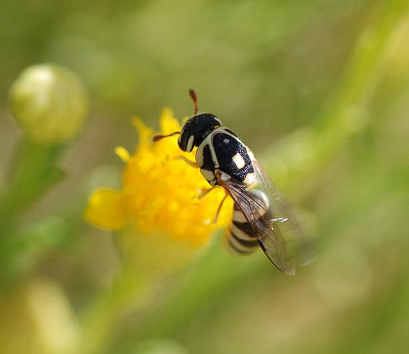 Aculeate Wasps : (Vespidae) Jugurtia jemenensis