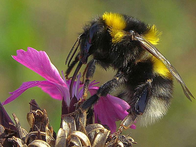 Bees : (Apidae) Bombus hortorum