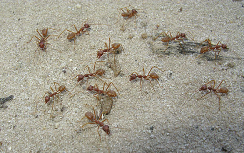 Ants : (Formicidae) Oecophylla longinoda