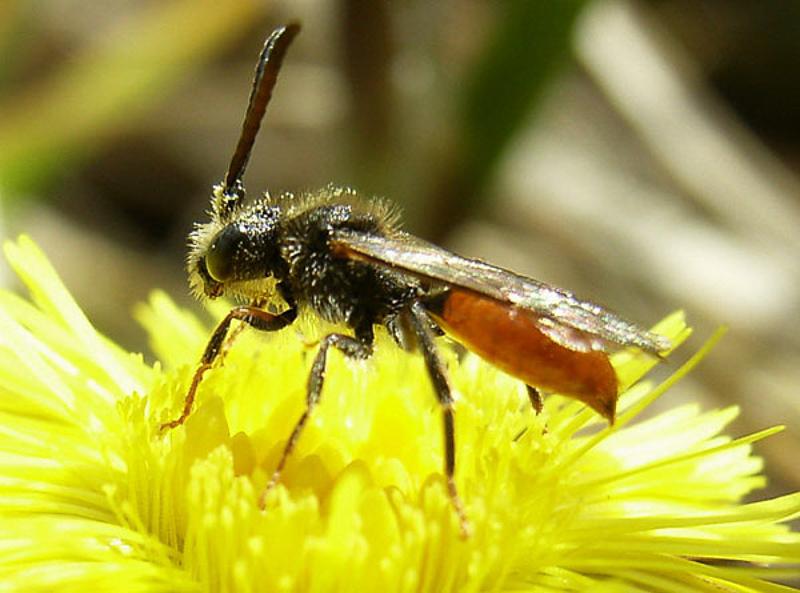 Bees : (Apidae) Nomada fabriciana