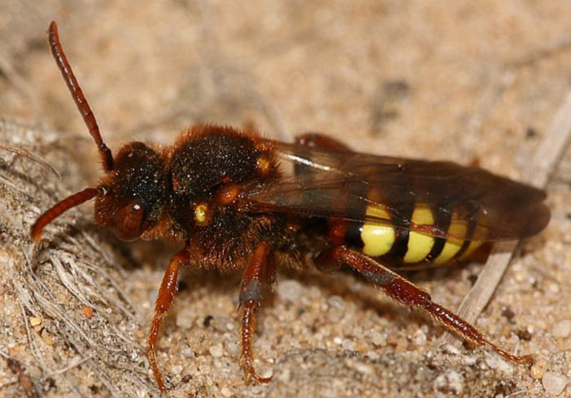 Bees : (Apidae) Nomada lathburiana