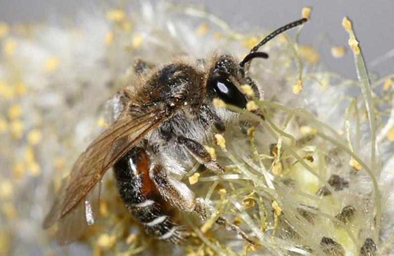 Bees : (Andrenidae) Andrena ventralis