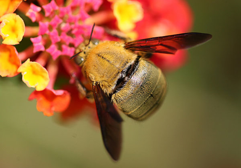 Bees : (Apidae) Xylocopa pubescens