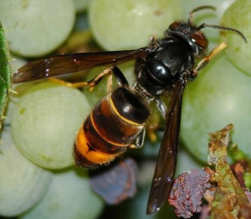 Aculeate Wasps : (Vespidae) Vespa velutina