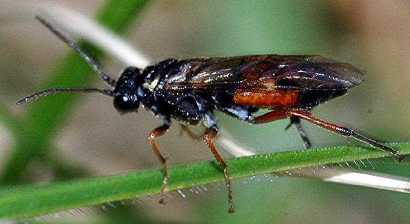 Sawflies and horntails : (Tenthredinidae) Aglaostigma aucupariae