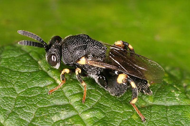 Chalcid wasps : (Chalcididae) Brachymeria minuta