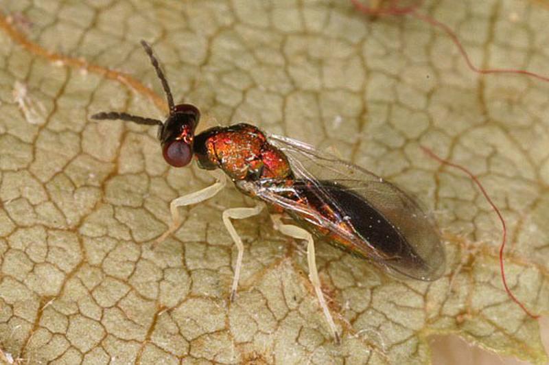 Chalcid wasps : (Eulophidae) Minotetrastichus frontalis