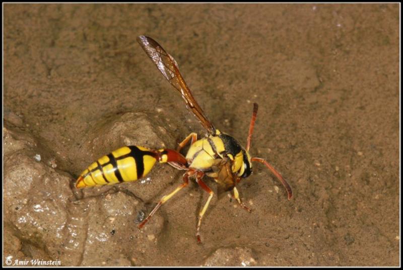 Aculeate Wasps : (Vespidae) Delta lepeletierii
