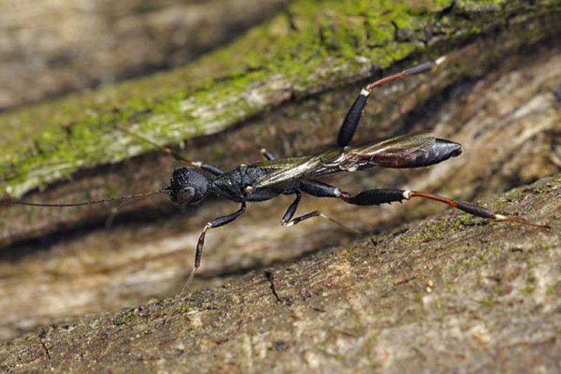 Other parasitoids : (Stephanidae) Stephanus serrator