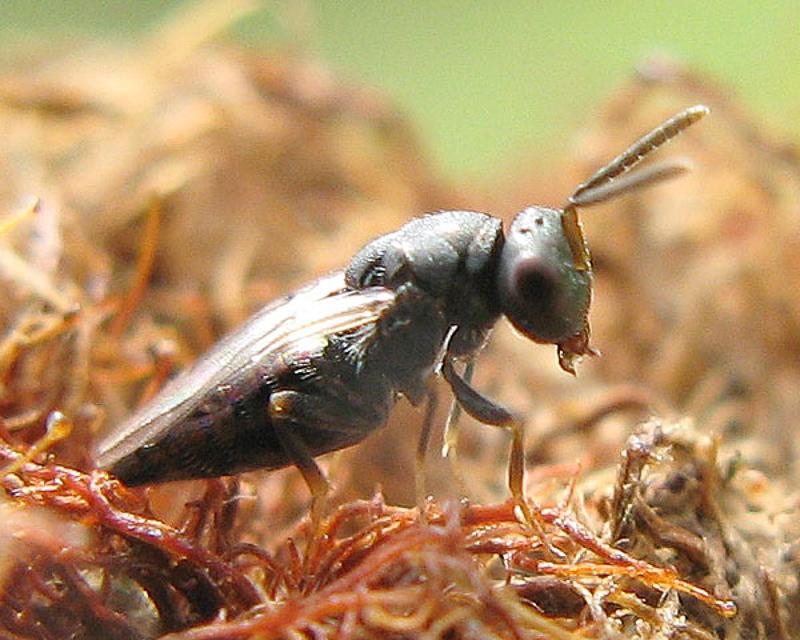 Chalcid wasps : (Pteromalidae) Pteromalus bedeguaris